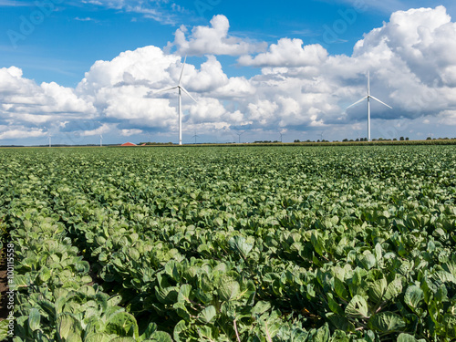 Aluminium Prints Natuur Field of brussels sprouts plants and wind turbines in Flevoland polder, Netherlands