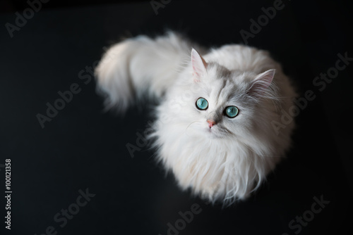 Keuken foto achterwand Kat White cat chinchilla. Fluffy cute pet animal with bright green eyes