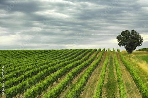 Vineyard in Gironde (Aquitaine) Canvas Print