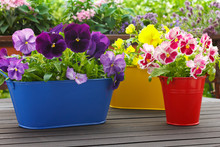 Purple Red Yellow Pansy Flowers