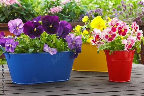 Fotobehang Pansies purple red yellow pansy flowers