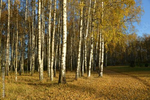 Garden Poster Birch Grove Birches in autumn park.