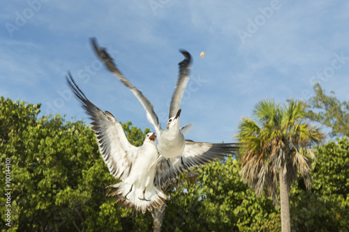 Fotografie, Tablou  Two pigeons in flight fighting over food, view from below