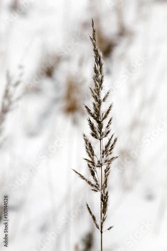 Keuken foto achterwand Paardebloemen en water grass seed in winter