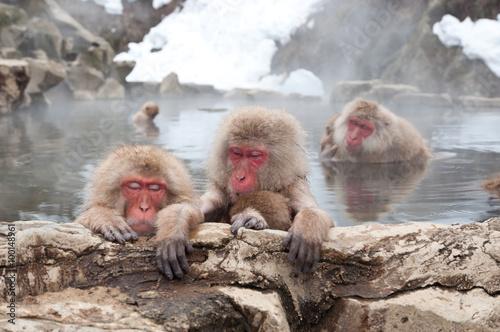 Fotografie, Obraz  snow monkeys in onsen