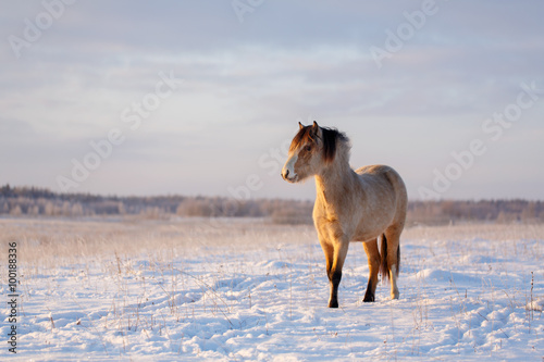 Photo welsh pony at winter