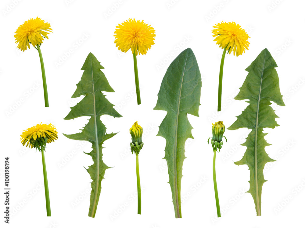 Fototapety, obrazy: Dandelion flowers, buds and leaves