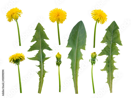 Poster de jardin Pissenlit Dandelion flowers, buds and leaves