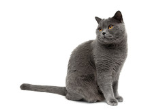 Gray Cat Sits On A White Background
