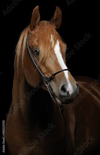 Fotografia  Horse portrait isolated on black background