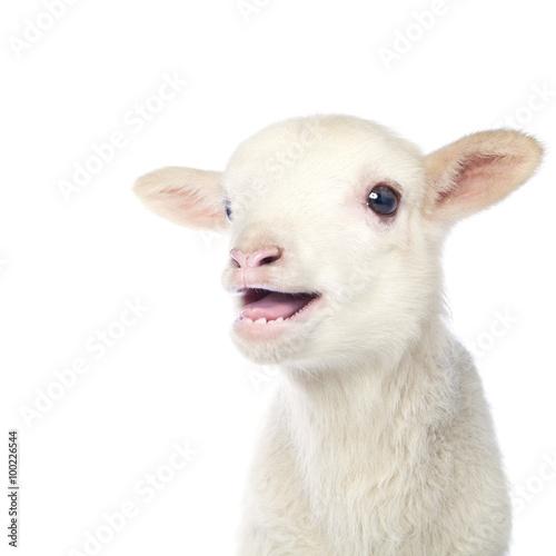 Fotomural White baby lamb