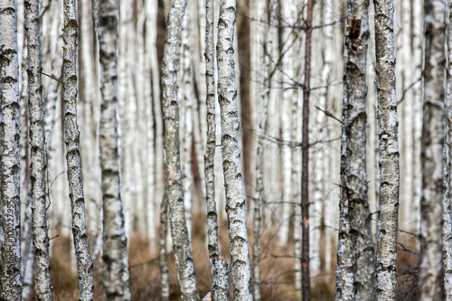 Fototapety, obrazy: Forest of birch trees