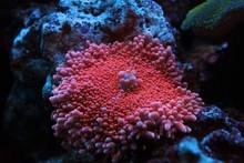 Pink Yuma Mushroom Coral