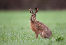 Wild Brown Hare Sitting In A G...