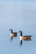 Canada Goose Pair In The Lake