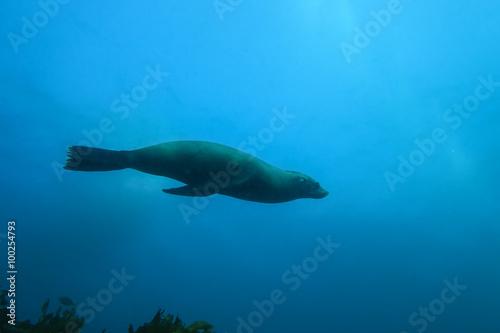 In de dag Dolfijn Seal swimming effortlessly underwater