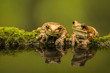 Two Amazon Milk Frogs