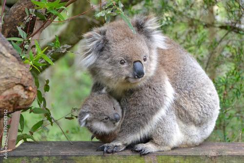 Garden Poster Koala Koala mit Joey