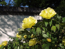 Yellow Flowering Peonies In Ch...