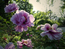 Flowering Peonies In Chinese G...