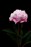 Still life di un fiore di peonia realizzato in studio