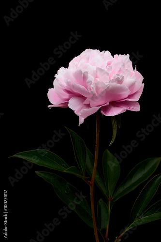 Still life di un fiore di peonia realizzato in studio - 100270117