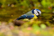 blue tit sitting on a twig