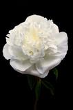 Still life fiore di peonia bianco