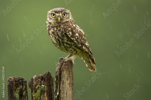 Foto op Aluminium Uil Little owl in the rain