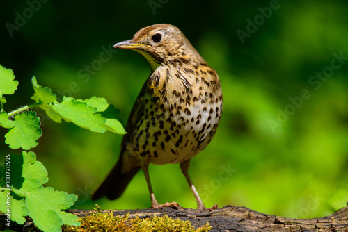 Obraz na plátně Song Thrush walking on a green background.