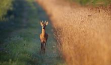 Young Roe Buck Deer