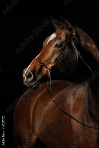 Fotografija  Portrait of a bay horse on the black background