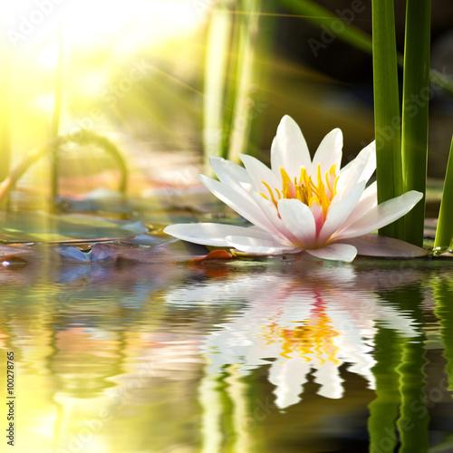 Foto op Canvas Lotusbloem lotus flower