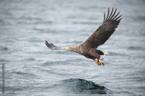 Garden Poster Eagle White-tailed eagle, fishing over a fjord