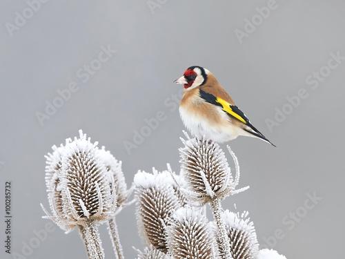 Fotografía European Goldfinch (Carduelis carduelis)