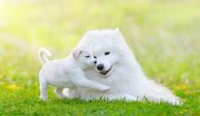 Mixed Breed White Puppy And Samoyed Dog On Green Background