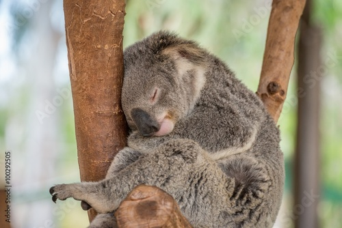 Foto op Canvas Koala Sleeping Koala Bear in Tree