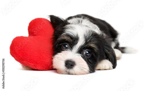 czarno-bialy-szczeniak-hawanczyk-z-czerwonym-sercem-na-bialym-tle