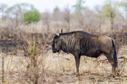 Staande foto Leeuw Blue wildebeest in Kruger National park