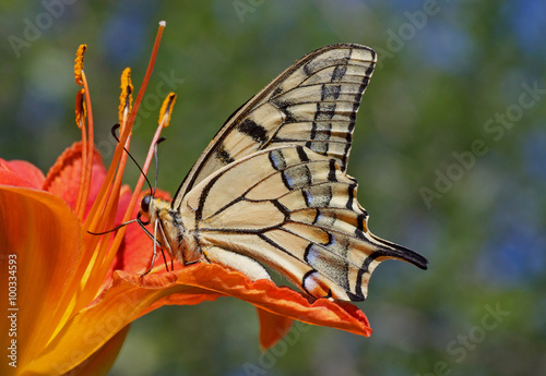 close up of Papilio Machaon butterfly sitting on flower