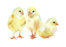 Watercolor Painting. Three Yellow Chickens.