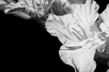 Black and white gladiolus