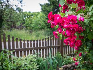 Fototapeta Wiejski Rose garden on countryside in Mazovia region, Poland