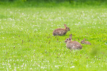 Wild Rabbits On A Meadow