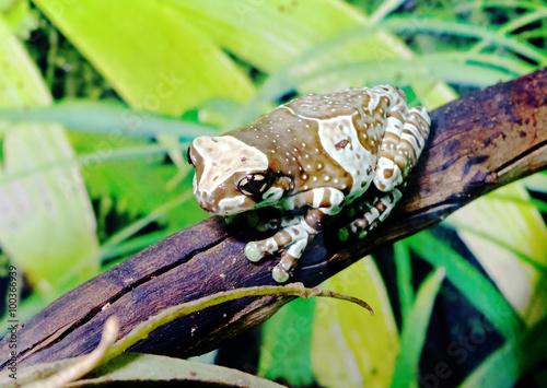 fototapeta na drzwi i meble Амазонская молочная лягушка