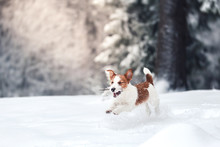 Jack Russell Dog Outdoors In W...