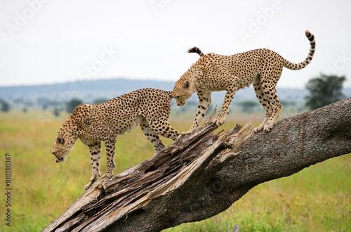 Poster Leopard Two cheetahs on a tree. Kenya. Tanzania. Africa. National Park. Serengeti. Maasai Mara. An excellent illustration.
