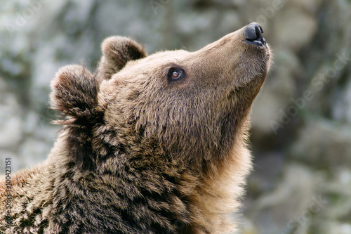 Brown bear's head looking up