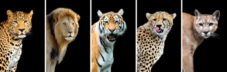 FototapetaFive big wild cats
