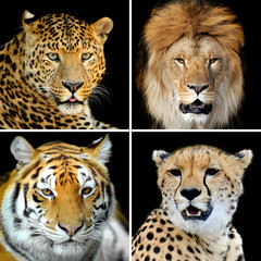Fototapeta Pantera Four big wild cats